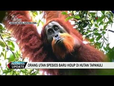 Orang Utan Spesies Baru Hidup di Hutan Tapanuli