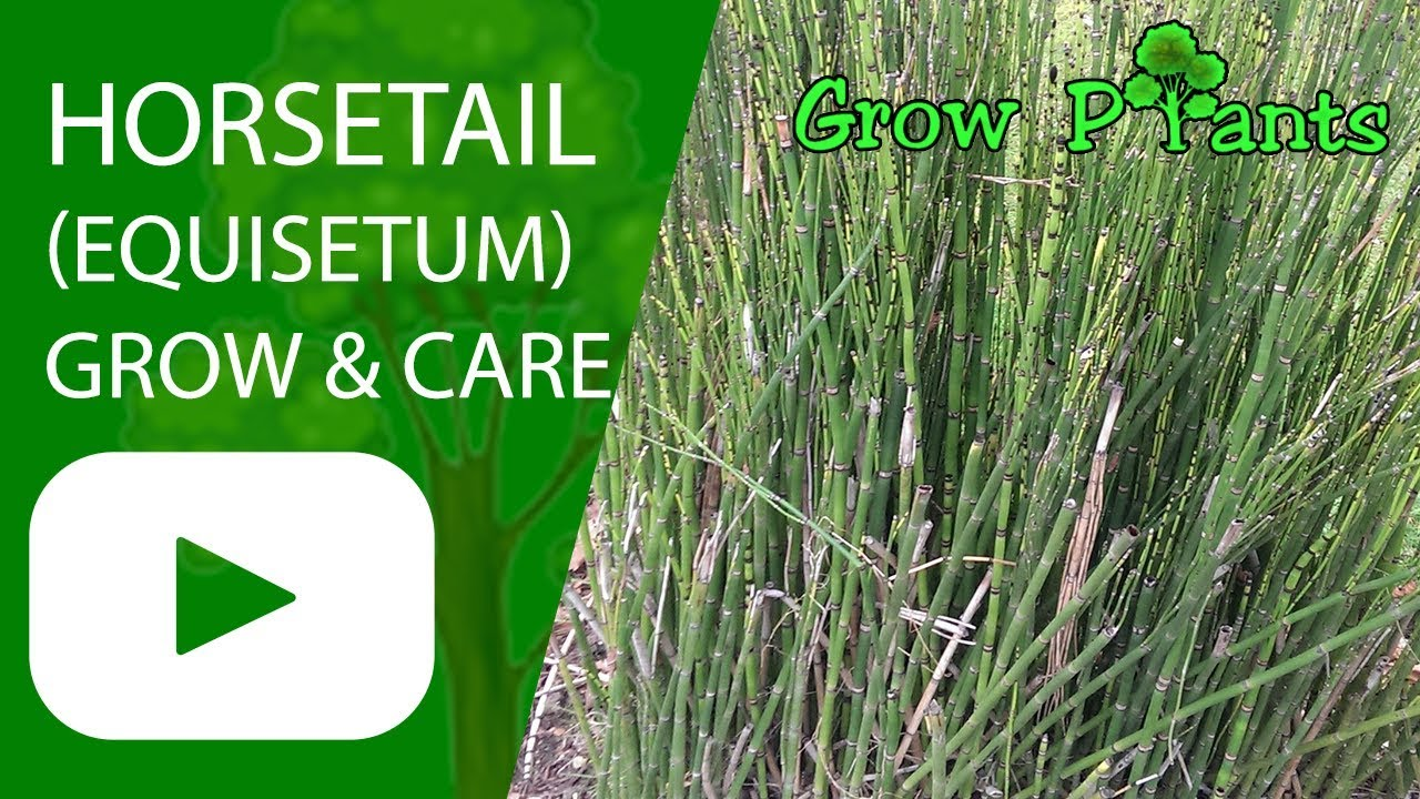 Horsetail Equisetum Growing And Care Grow Plants