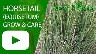 Horsetail (Equisetum) - growing and care