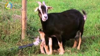 Pâturage mixte de petits ruminants bovins