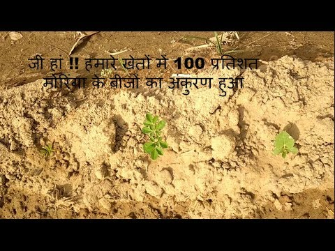 100% MORINGA SEEDS SPROUTING IN JUST 8 DAYS!! A RIGHT WAY FOR MORINGA LEAVES FARMING.PART-2