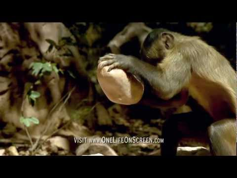 Brown Capuchin monkey uses a tool | One Life | BBC
