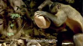 Brown Capuchin monkey uses a tool | One Life | BBC BBC Earth presents One Life. Narrated by Daniel Craig, written and directed by Michael Gunton & Martha Holmes. Coming to theaters February 21! Tickets available at http://www.onelifeonscreen.com  Visit http://www.bbcearth.com for all the latest animal news and wildlife videos BBC Earth Facebook http://www.facebook.com/bbcearth (ex-UK only) BBC Earth Twitter http://www.twitter.com/bbcearth  Subscribe to BBC Earth: http://bit.ly/ydxvrP  BBC Earth Channel: http://www.youtube.com/BBCEarth  Latest BBC Earth videos: http://bit.ly/y1wtbi