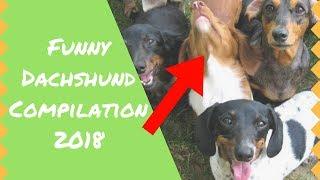 Dachshund - Incredibly Funny Dachshund Videos