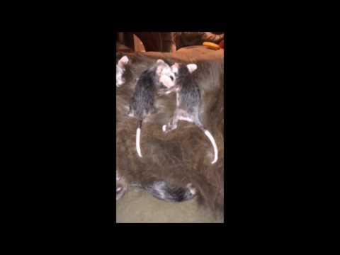These Baby Opossum's Love this Cat