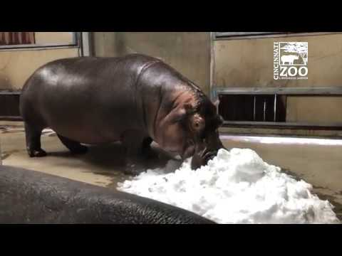 Baby Hippo Fiona and Mom Bibi Experience Snow for the First Time – Cincinnati Zoo