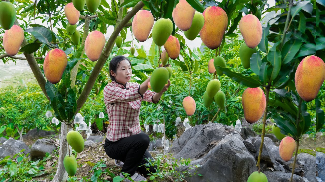 掛在樹上的小胖子,金黃色的身體香味迷人,我卻不能吃它【芒果】Country girl, using mangoes to create a variety of Chinese food|野小妹 美食
