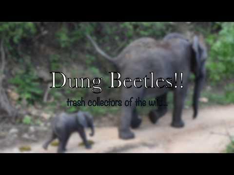 African Dung Beetles Roll POOP