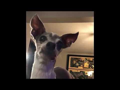 Italian Greyhound Attempts to Eat Bone