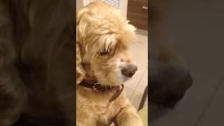 Виноватая собака blame the dog