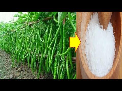 INILAH Manfaat Garam Dapur Untuk Tanaman Cabe Agar Tumbuh Subur Dan Berbuah Lebat