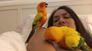 Sun Conures. Cuddle Dance - Birds , Parrot , pet.