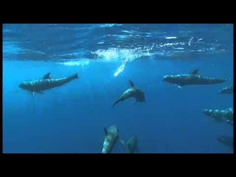 Melon Head Whales - swimming