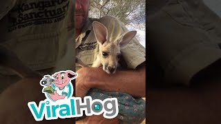 Orphan Baby Kangaroo Loves Her Pouch