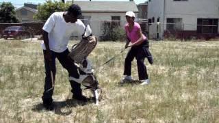 "English Bulldog Protection Schutzhund  ""street Protection"""