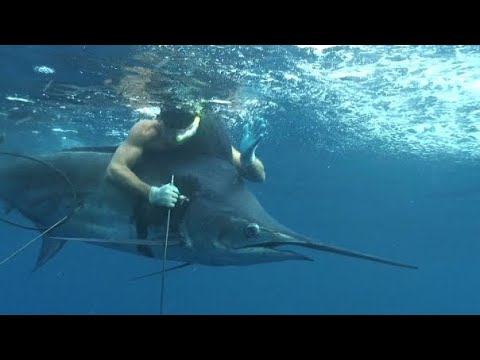 WORLD RECORD {Pacific Blue Marlin} Speared While Freediving