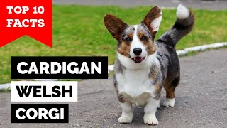 Cardigan Welsh Corgi  Top 10 Facts
