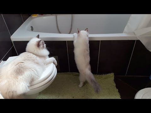Cute kitten discovering our bathtub - Luigi The Ragdoll Cat :)