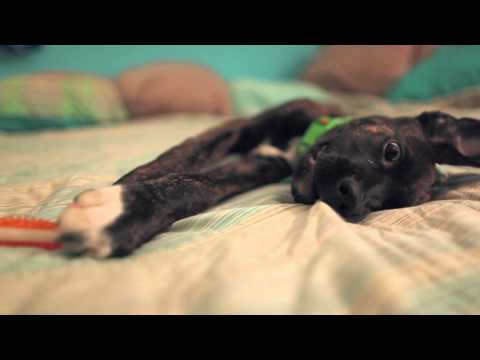 Black Lab-Boxer Mix Puppy