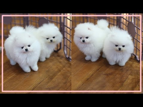 Teacup puppy for sale! Teacup white pomeranian Addel