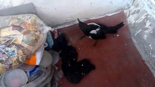Домашняя сорока кормление сороки мясом Magpie