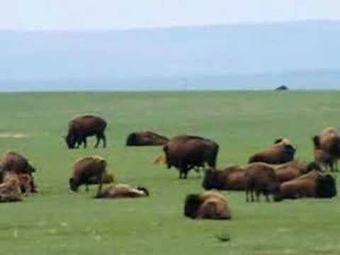 buffalo with calf video clip