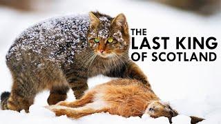 Scottish Wildcat: The Highlander Cat