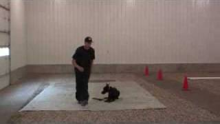 Doberman Pinscher Kai - Boot Camp Dog Training Graduate