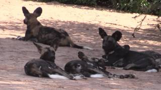 African Wild 'Painted' Dogs