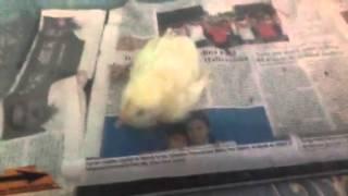 Boa comiendo pollo