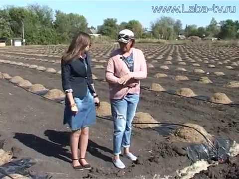 В Лабинском районе научились выращивать голубику.