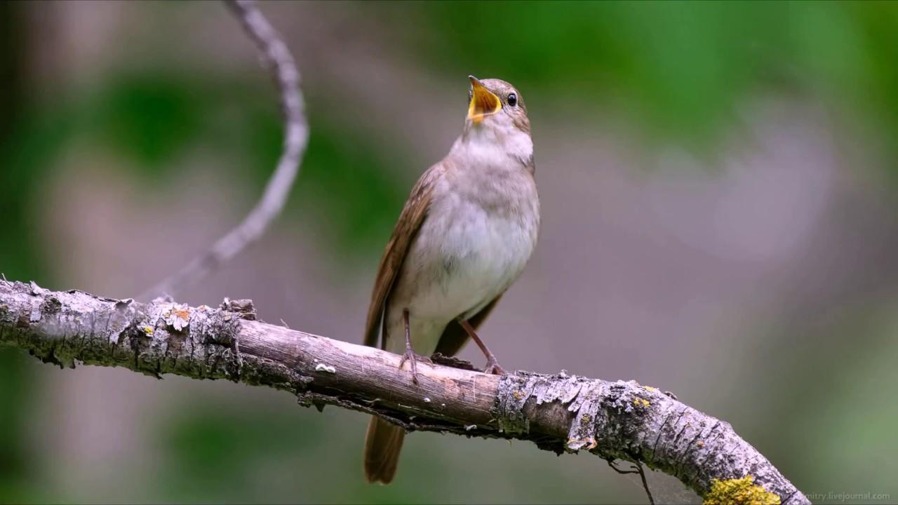 фото птицы соловьи поют звезду посыпались
