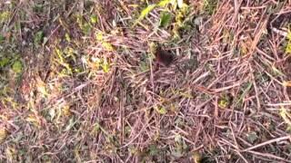 Мышь - землеройка
