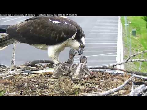 Hellgate ospreys MT  6 17 18 739pm Louis does it again with another large fish delivery