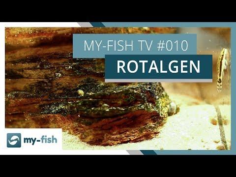 Rotalgen im Aquarium | Wie du gegen Pinselalgen, Bartalgen & Co. vorgehst | my-fish TV