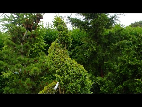 How to Make a Spiral Topiary from Boxwood