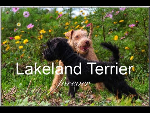 all time favorites - Lakeland Terrier forever 2019
