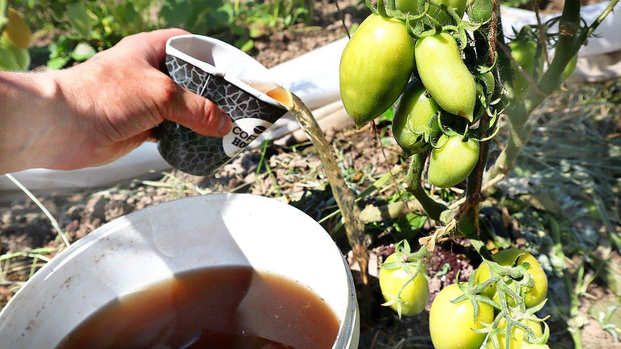 Если томаты огурцы кабачки жируют плодов мало лью это удобрение! Переизбыток азота как рукой снимает