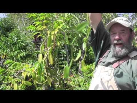 Propagating Vanilla Orchids