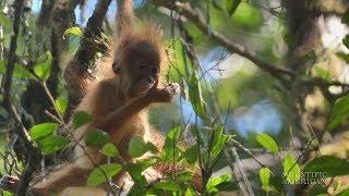 New Frizzy-Haired Orangutan Species