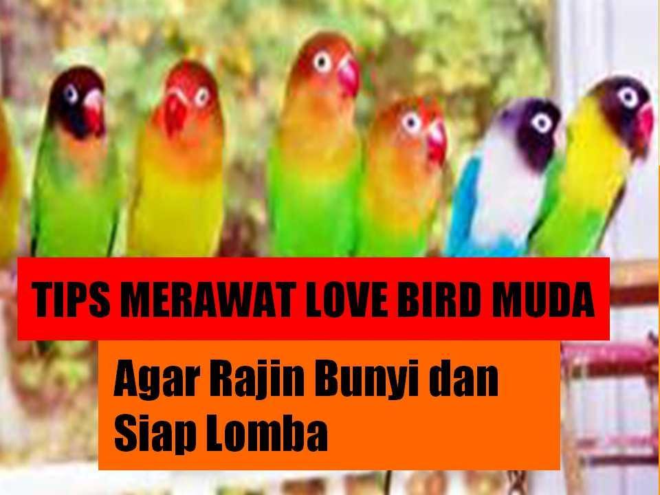 Cara Merawat Love Bird Muda Agar Rajin Bunyi Dan Siap Lomba Youtube