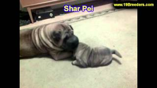 Sharpei, Puppies, For, Sale, In, Portland, Oregon, Or, Mcminnville, Oregon City, Grants Pass, Keizer