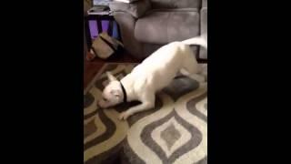 Hucklebutt Bull Terrier.