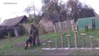 Обучение немецкой овчарки преодолевать полосу препятствий за одно занятие | Урок 14