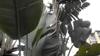 AVE DEL PARAISO GIGANTE: Strelitzia nicolai (http://www.riomoros.com)