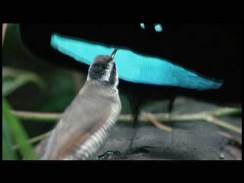 uccelli di un corteggiamento di piume