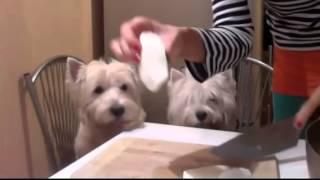 West Highland White Terrier - Recipe