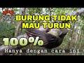 Penyebab Lain Burung Tidak Mau Turun Dan Nempel Di Pulut  Mp3 - Mp4 Download
