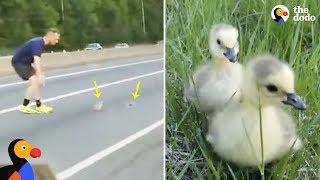 Baby Ducks Stuck on Highway Get Help From Kind Strangers | The Dodo
