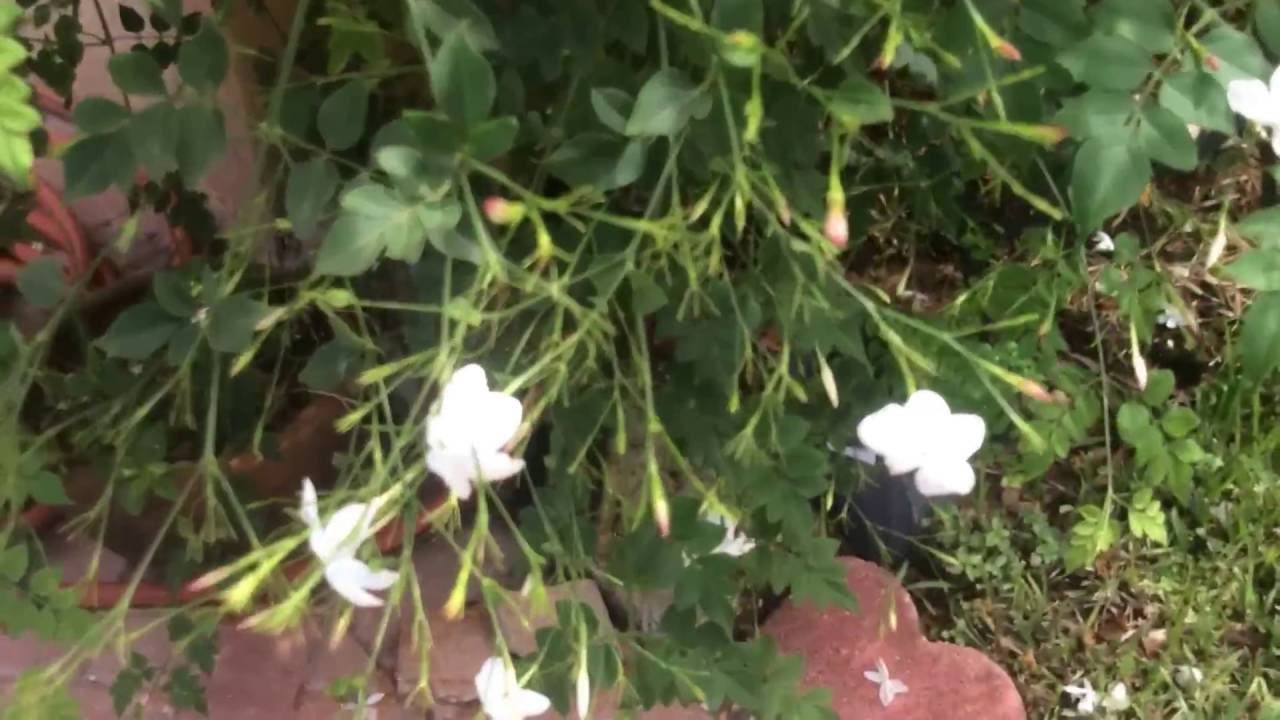 Jasmine grandiflorum chameli poets jasmine spanish jasmine jasmine grandiflorum chameli poets jasmine spanish jasmine french jasmine youtube izmirmasajfo